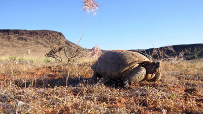 A desert tortoise in its native habitat in Washington County. Photo by Jason Jones, Utah Division of Wildlife Resources.