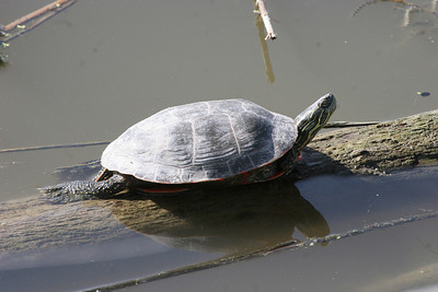 Western painted turtle sunning at Farmington Bay Waterfowl Management Area.  Photo by Phil Douglass