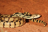 Gopher snakes live throughout Utah and parts of North America. The non-venomous snakes can grow to between 36 and 84 inches long (91 to 213 cm). Photo by Lynn Chamberlain, Utah Division of Wildlife Resources