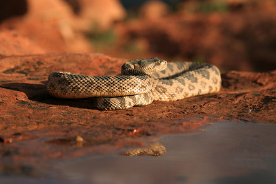 Great Basin rattlesnake in southwestern Utah. Photo by Lynn Chamberlain, Utah Division of Wildlife Resources
