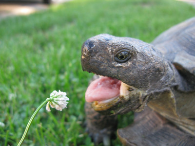 Clover is a great plant to feed your desert tortoise. Photo by Jason Jones, Utah Division of Wildlife Resources.