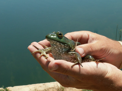 Utah biologists are concerned about the discovery of American bullfrogs in the Uinta Basin this summer.