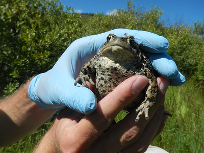 Boreal toad survey in 2015