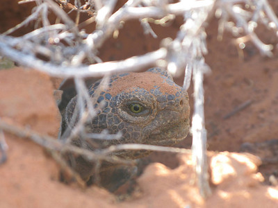 A wild desert tortoise pokes its head out of a burrow. Photo by Jason Jones, Utah Division of Wildlife Resources.