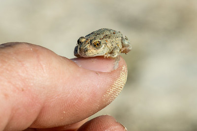 Great Basin spadefoot (Spea intermontana) toad. Photo by Tom Becker, Utah Division of Wildlife Resources.