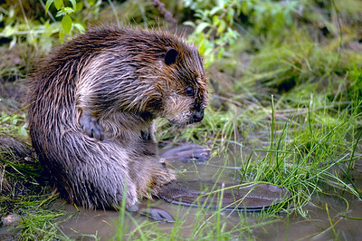A beaver on a log in Utah. Photo by Lynn Chamberlain, Utah Division of Wildlife Resources.