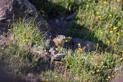 American Pika in Utah's Tushar Mountains (Ochotona princeps). Photo by Lynn Chamberlain, Utah Division of Wildlife Resources