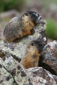 Yellow-bellied marmot in Utah's Tushar Mountains, Photo by Lynn Chamberlain, Utah Division of Wildlife Resources