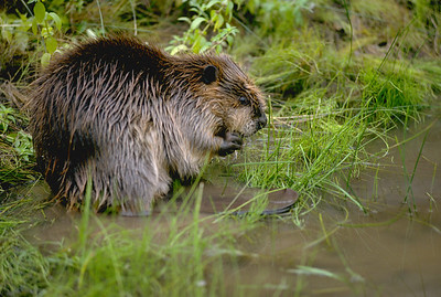 Sitting beaver on the edge of the water.  The tail is showing.  Photo by Utah Division of Wildlife Resources, 10-29-07.