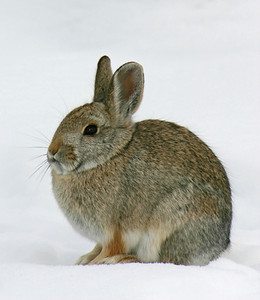Cottontail rabbit in the snow. Photo by Scott Root, Utah Division of Wildlife Resources