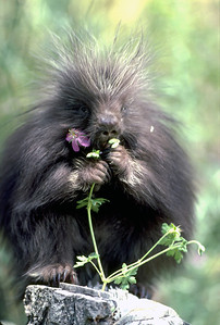 A porcupine in Utah. Photo by Lynn Chamberlain, Utah Division of Wildlife Resources.