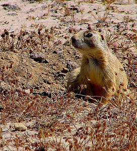 Gunnison's prairie dog from Grand County, Utah, photo by Tony Wright, Utah Division of Wildlife Resources