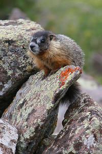 Yellow-bellied marmot in Utah's Tushar Mountains. Photo by Lynn Chamberlain, Utah Division of Wildlife Resources