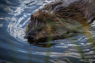 This American beaver, one of the six beavers rescued from the Willard Bay oil spill, was returned to the wild in August 2013. Photo by Mike Christensen, Utah Division of Wildlife Resources.