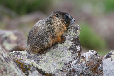 Yellow-bellied marmot in Utah's Tushar Mountains. Photo by Lynn Chamberlain - Utah Division of Wildife Resources
