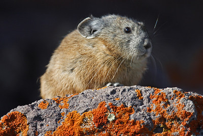 American Pika; Ochotona princeps -- Photo by Lynn Chamberlain, Utah Division of Wildlife Resources