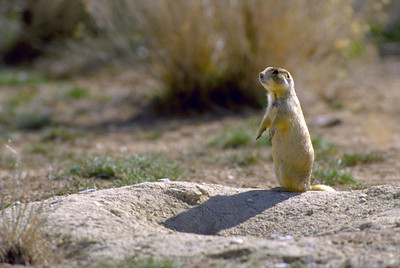 Whitetail prairie dog on a mound around a burrow