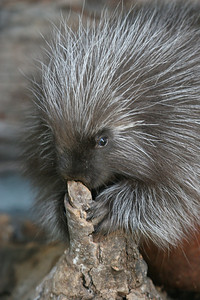 North American porcupine — photo by Lynn Chamberlain, Utah Division of Wildlife Resources