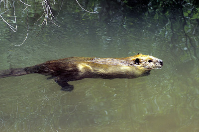 A swimming beaver in Moab, Utah.