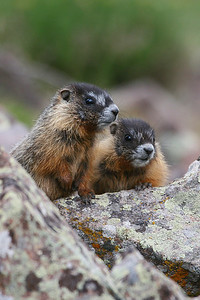 Yellow-bellied marmots in Utah's Tushar Mountains. Photo by Lynn Chamberlain, Utah Division of Wildlife Resources