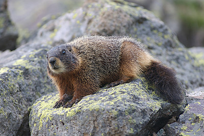 Yellowbelly marmot on a rock. Photo by J. Kirk Gardner, courtesy of Utah Division of Wildlife Resources