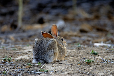 A Carbon County cottontail watches the photographer. Photo by Brent Stettler, Utah Division of Wildlife Resources, 7-8-07.