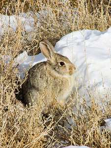 A western cottontail rabbit, Sylvilagus nuttallii, in the weeds. Photo by Brent Stettler, Utah Division of Wildlife Resources.