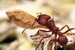Acromyrmex :  Images of  Acromyrmex versicolor leaf-cutting ants in Arizona, USA. You may need to scroll down PAST BOTTOM OF PAGE for complete image description, and CLICK large image to make it even LARGER... ***There may be multiple image pages; use red page/image controls below to see them all!***