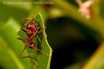 Atta mexicana  [leafcutters] :  Images of  Atta mexicana leaf-cutting ants in Mazatlán, Mexico.