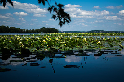Lily pads on Lake Mendota