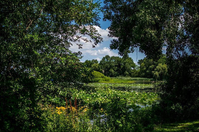 Lily pads on Lake Mendota