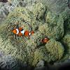 anemone fish in anemones