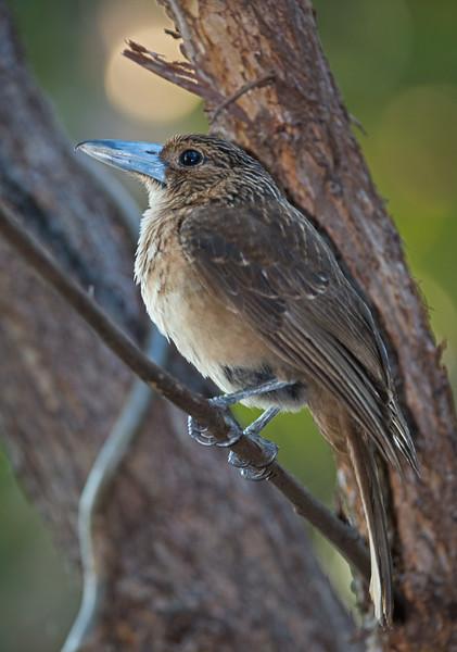 bird to be identified Queensland