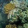 giant clam 3