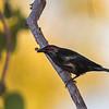 portrait of a metallic starling