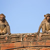 two macaques on a brick wall Jaipur