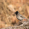 portrait of a red-vented bulbul