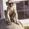 baby langur on ledge