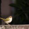 common tailorbird on ledge
