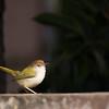 common tailorbird on ledge