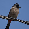 red-vented bulbul on wire