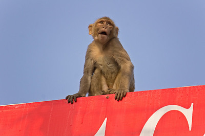 emotional rhesus