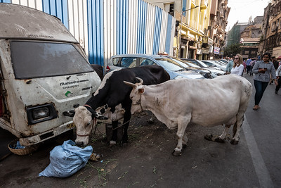 cows on Mumbai street