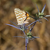 butterfly on spiky purple plant