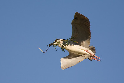 black-crowned night heron w eucalyptus leaves
