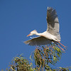 treetop with cattle egret in flight