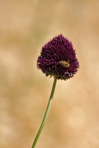 bee on burgundy flower
