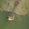 Caspian turtle punim