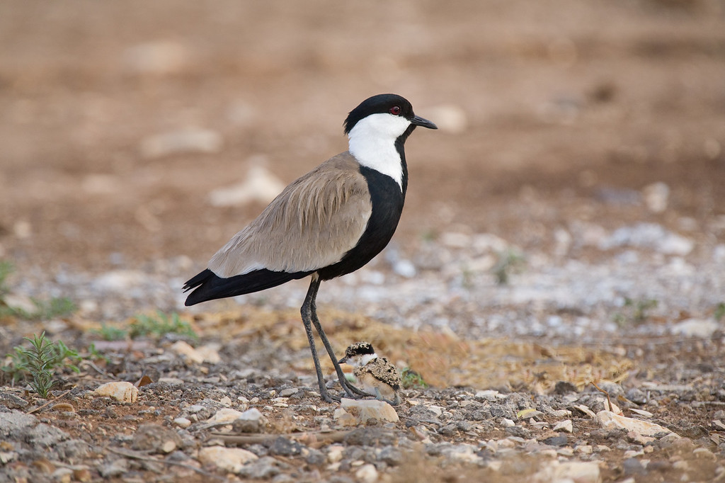 spur-winged lapwing with chick