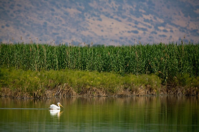 white pelican Hula Lake